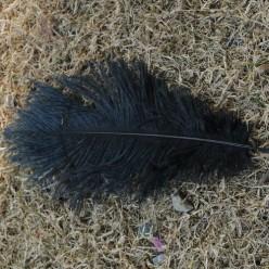 1 шт. Черный цвет. Перо страуса 15-20 см